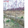 紅葉桃供應商 紅葉桃2-6公分大量供應 安徽合肥紅葉桃