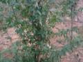鸡爪槭成品苗
