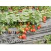 草莓苗批发、甜查理草莓苗批发、红颜草莓苗批发