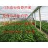 草莓苗出售、甜查理草莓苗出售、红颜草莓苗出售