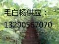 雄性毛白杨