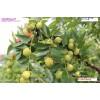 枣树新品种—红丹脆—枣苗