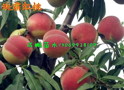 生长结果习性 映霜红桃幼树健旺,直立,停长晚,年生长量大,结果后树势中庸,树冠开张。一年生枝生长旺盛,具有多次生长习性。幼树以中、长枝结果枝为主,树势缓和后以中、短结果枝结果。自花授粉能力强。易花早果,丰产性特强,栽后2年结果3年亩产5000斤,4-5年亩产万斤以上。果实发育明显分为三个时期:自谢花后至6月上旬为果实迅速生长期,果实生长快,纵径发育大于横径;6月中旬果实进入缓慢生长期,果实增大极微,色暗绿,多茸毛;直到9月中旬果实才转入迅速膨大期,果实迅速膨大,毛茸减少,开始着色、糖度增加、显示出本品种应