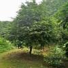 红豆杉哪里多?直销D8-15-20公分的精品移栽红豆杉价格