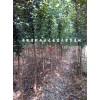 安徽肥西三角枫 2公分三角枫150万株13515652012