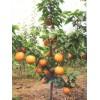 梨苗批发|梨苗价格|梨苗种植技术