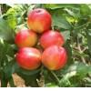 油桃树苗批发 油桃树苗品种 油桃苗树种植技术