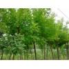 楚景园林供应:国槐、栾树、桂花