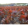 楚景园林供应:107杨树、108杨树、意杨、红叶杨