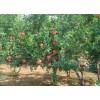 楚景园林供应:石榴树、刺槐、桑树、