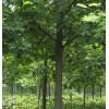 楚景园林供应:马褂木、七叶树、黄连木