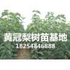 梨树苗品种 梨树苗销售 哪里有卖梨树苗 山东皇冠梨树苗基地