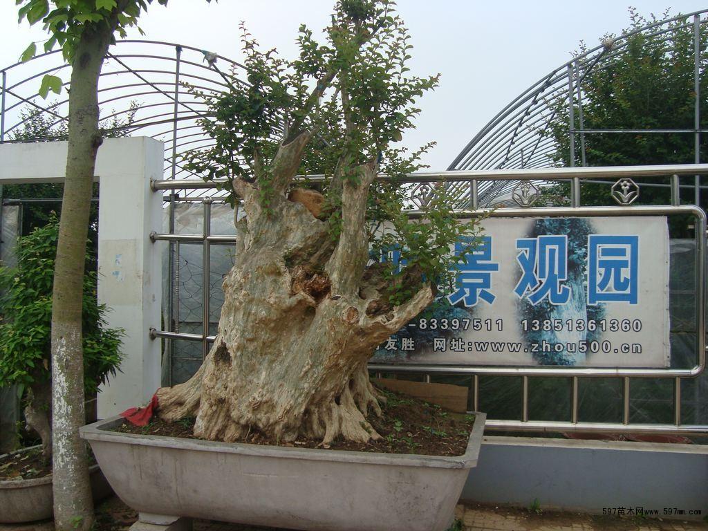 中国最大杂木盆景集散地