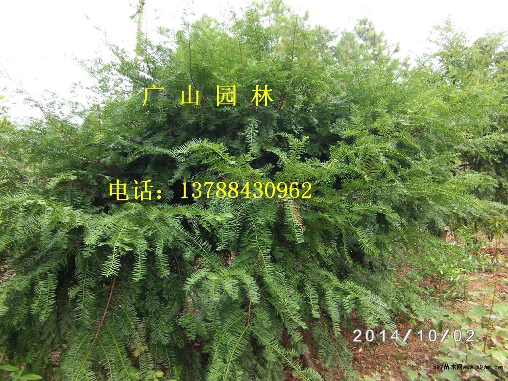 金丝楠木,红豆杉,美国红枫等苗木