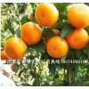 优良品种东方红果苗、沃柑果苗、沙糖桔果苗、W默科特果苗批发