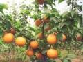 梨苗批发,梨苗品种