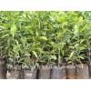 优良品种沃柑果苗、W莫科特果苗果苗价格批发商无菌沃柑果苗