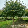 15公分红枫哪里栽得多10  20公分精品嫁接移栽红枫价格