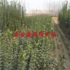 2014绿化苗、北海道黄杨树苗价格