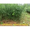 大量供应嫁接柑桔枳壳苗大苗马上可以嫁接的枳壳苗柑桔果苗批发