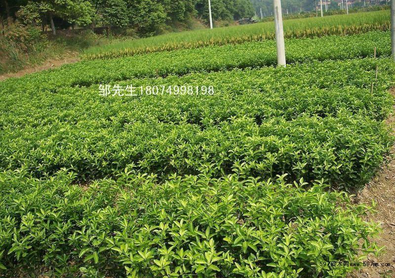 上海闵行柑橘树苗农场