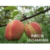 早熟梨树苗品种早酥红梨树苗梨树苗结果100%品种梨树苗