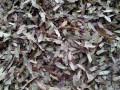 日本红枫新种子