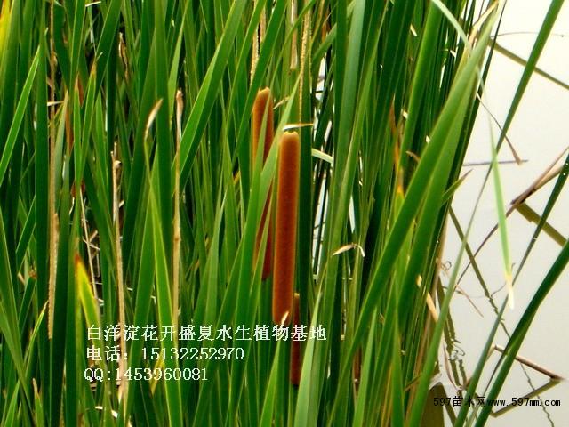 小坚果椭圆形至长椭圆形;果皮具长形褐色斑点.种子褐色,微弯.