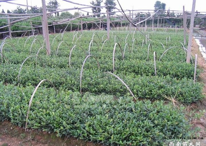 5米 乔灌木 绿化苗木 供应信息 597