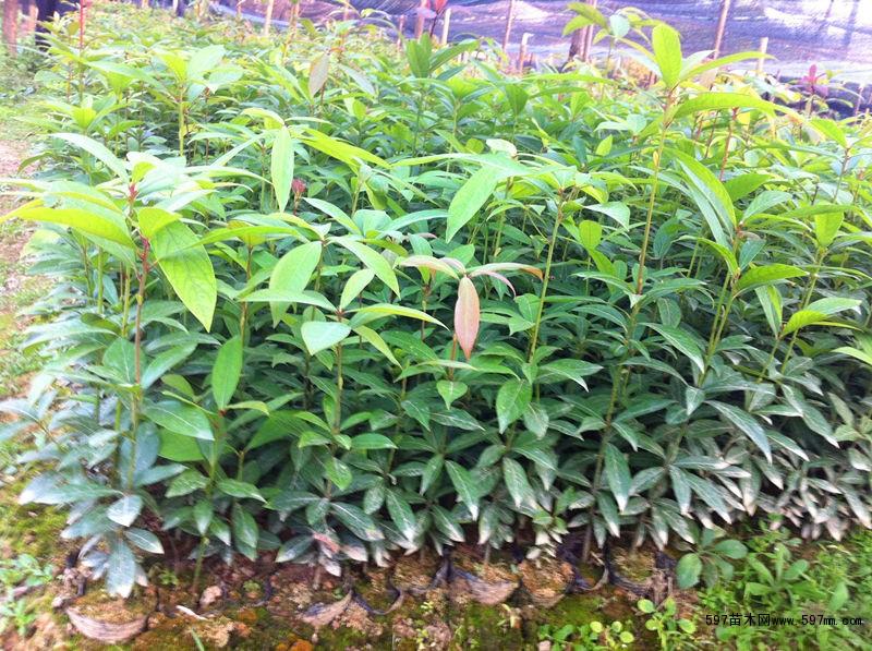 苗圃低价直销桢楠苗,金丝楠木苗|绿化小苗|绿化苗木
