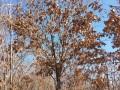 云杉蒙古栎