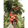 湖北省樱桃树苗价格|湖北地区种植樱桃树苗|诚信为本