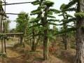 湖南造型榆树桩 (1图)