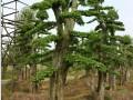 浏阳造型榆树桩 (2图)