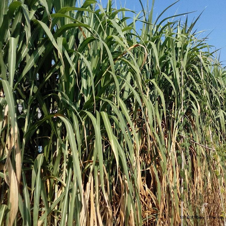 皇竹草是由象草和非洲狼尾草杂交育成的品种,是一种适应性广、抗逆性强、产量高、粗蛋白和糖分含量高的植物。适宜在热带、亚热带和我国南方栽培。 皇竹草植株高大,直立丛生,根系发达,在温度适宜地区为多年生植物。株高可达4-5米,节间长9.15厘米;有15-30个有效分蘖,每节着生1个腋芽,并由叶片包裹,叶片互生,长60—132厘米,叶片宽3-6厘米,8个月共生长35片叶。密集圆锥花序,长20—30厘米,但在温带地区栽培多不抽穗,因此,只能利用腋芽进行无性繁殖。 皇竹草系热带生长的植物。据四