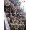 安徽合肥红梅 安徽红梅 肥西红梅2-10公分供应商