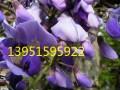 紫藤种子紫藤小苗价格