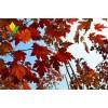 美国红枫 秋火焰苗