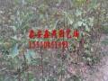 山东银杏树苗供应