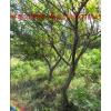 紧急出售4—7 公分怀远石榴树