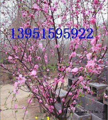腊梅榆叶梅紫叶碧桃种子价格红叶桃蜡梅种子多少钱