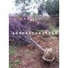 安徽肥西紫叶李、三角枫、乌桕、红梅、红叶桃、石楠最好供应商