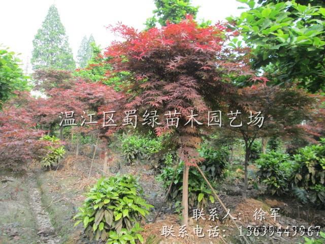6公分四川成都红枫 7公分温江红枫树 8公分精品红枫 10公分四川