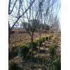 基地直销地径1-10公分木瓜海棠