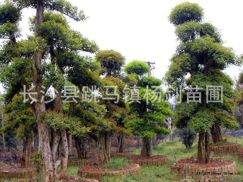 造型椤木石楠图片|苗木|苗木图库|597苗木网