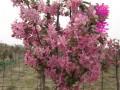 北美絢麗海棠