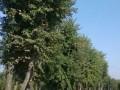三角枫移植苗