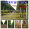 供应各种规格及造型·法桐·白蜡·国槐·栾树·垂柳