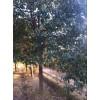 香樟-供应香樟小苗-一年生香樟芽苗-米径1-25公分香樟、
