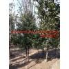 安徽椤木石楠 安徽肥西椤木石楠5-15公分最大供应商